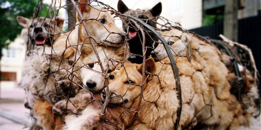 1000-yulin-dogs-in-cages1